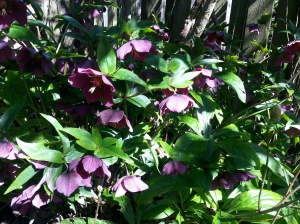 "Helleborus orientalis. ""Lenten Rose"" If you are able to grow this plant in your area, do so as it is not only beautiful, but starts blooming in winter."