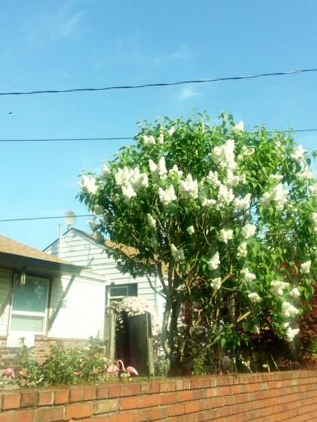 Lilacs, lilacs, every where!