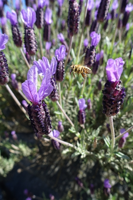The bees have been back for awhile and the lavender has just begun to blossom.
